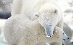 Polar Bear | Bear Legend