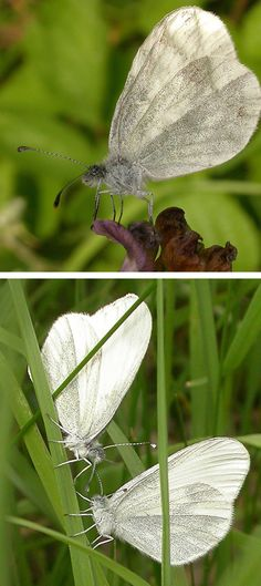 Wood White Butterfly: The wood white butterfly is a rather delicate-looking species, often overlooked along with other members of the white butterfly family. It is creamy-white with grey tips to the upper-forewings, and has grey veins on both upper and hind wings.