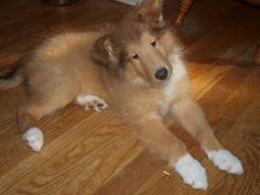 Ryder, our 8 week old, rough collie puppy. October 30th, 2011.