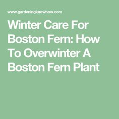 winter care for boston fern how to overwinter a boston fern plant the winter ferns and. Black Bedroom Furniture Sets. Home Design Ideas