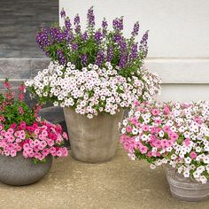 In the middle container is Supertunia Vista Silverberry, with Angelface Blue adding the colorful height.