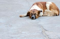 Canine Cancer: New, Inexpensive Treatment Prolongs Life for Dogs with Hemangiosarcoma Tumors