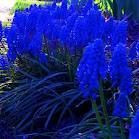 I love Hyacinths.  They smell amazing and they come in the most wonderful colors
