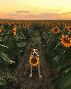 Animal Nature Photography Peace Ideas For 2019 Sunflower Photography, Nature Photography, Animals And Pets, Cute Animals, Sunflowers And Daisies, Sunflower Wallpaper, Happy Flowers, Beautiful Flowers, Sunflower Fields