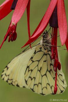 ~~Butterfly by Belmira McLeod~~