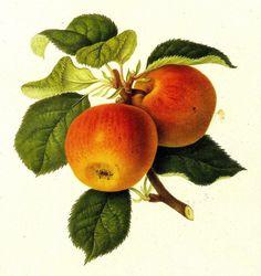 Vintage Fruit Print  Apple Print  Kirke's by VickiesBeachHouse, $10.00