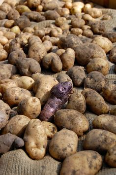 How to harvest and store potatoes. | The Art of Doing Stuff