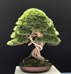 Bonsai Bark | Promoting and Expanding the Bonsai Universe | Page 29