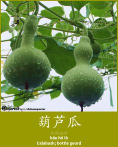 葫芦瓜 - Húluguā - bầu hồ lô - bottle gourd