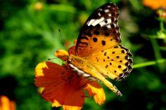 橙蝶。  (orange butterfly.)