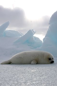 Harp Seal Nursery 2009 (by The Human Society of The United States)