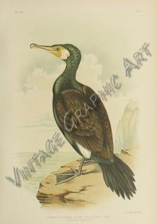 Bird of ptaki z Australii 1890 Brojnowski Digital Download | Etsy Art Vintage, Vintage Birds, Image Shows, Printable Wall Art, Wall Art Prints, Card Making, Clip Art, Australia, Digital