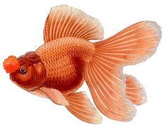 Oranda - The Goldfish Council