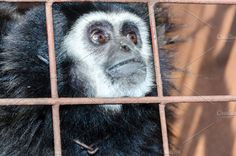 White-handed gibbon Photos Face and eyes downcast of White-handed gibbon (Hylobates lar) in a cage. The problem of illegal wild by Yongkiet