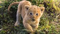 African Lion Cub, Masai Mara, Kenya, image uploaded by anonymous in creatures category. Animals Images, Funny Animals, Cute Animals, Wild Animals, Cubs Pictures, Animal Pictures, Ipad Air 2, Ipad 4, Tiny Baby Animals
