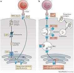 mhc1 vs mhc 2 antigen - Google Search