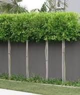 Image result for pleached hedges
