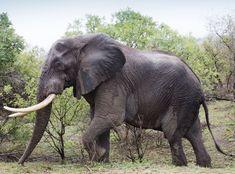 Danmark innfører forbud mot å la elefanter og andre ville dyr opptre på omreisende sirkus.