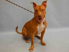 KARO PULLED BY POSH PETS - 08/07/15 - TO BE DESTROYED - 08/07/15 - **BABY ALERT** -KARO - #A1045811 - Urgent Manhattan - FEMALE RED AND WHITE AM PIT BULL TER MIX, 8 Mos - OWNER SUR - EVALUATE, NO HOLD Reason LLORDPRIVA - Intake Date 07/29/15 Due Out 07/29/15