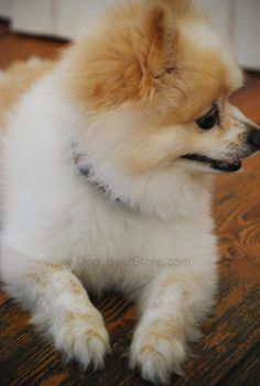 "Teddy, giving the ""staring off into the distance"" look #model #Pomeranian #Dog #Mascot"
