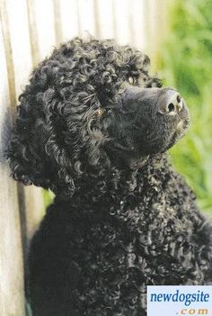 black Portuguese Water Dog puppies photos 53961235679195843.jpg