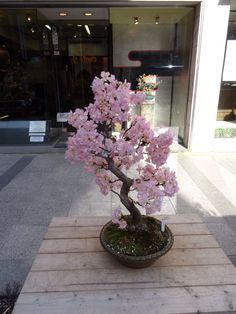 trees aesthetic A Cherry Blossom bonsai tree in Tokyo in February It has been tricked into. A Cherry Blossom bonsai tree in Tokyo in February It has been tricked into thinking its spring. Cherry Blossom Bonsai Tree, Sakura Cherry Blossom, Blossom Trees, Cherry Blossoms, Cherry Bonsai, Cherry Blossom Bedroom, Cherry Blossom Decor, Bonsai Tree Types, Bonsai Plants