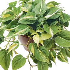 Philodendron- Brazil