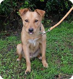Cedric - Sheltie, Shetland Sheepdog/Border Terrier Mix Dog for adoption in Seattle, Washington - Cedric
