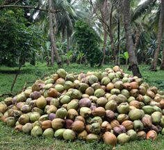 Contact us to buy bulk organic coconut products. We are the supplier of organic coconut products. Coconut Products, Glycemic Index, Coconut Flour, Paleo Diet, Beans, Organic, Vegetables, Vegetable Recipes, Beans Recipes
