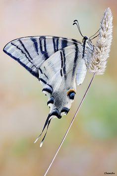 Brian Fireman Design ~ Muse ~ Swallowtail butterfly Iphiclides podalirius.