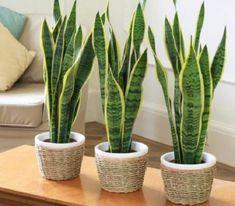 Эти растения – кислородные бомбы! Хотя бы один должен быть в вашем доме! Вот 6 лучших растений, которые вы должны иметь в вашем доме: