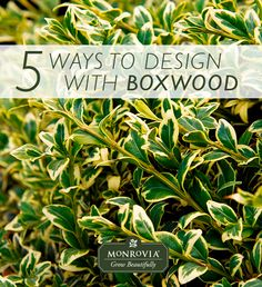In a formal setting or a casual situation, boxwood is always up for the task thanks to its versatility. In winter this shrub's strong shape, rich green color,