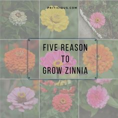 Five reasons to Grow Zinnia, home gardening,gardening