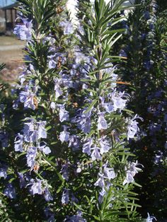 Rosemary blooms :)
