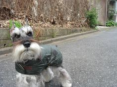 shnauzer dog in a barbour jacket, very sophisticated. Schnauzer Grooming, Schnauzer Dogs, Mini Schnauzer, Miniature Schnauzer, Schnauzers, Animal Pictures, Cute Pictures, Funny Animals, Cute Animals
