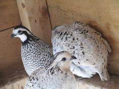 One pair of last seasons hatch Snowflake bobs gunrunner stock for sale.Snowflake Bobwhite quail is a small but plump bird contains a short but stout beak along with powerful feet and claws.These quails are extremely rare and hard to find.