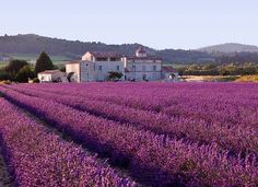 Visit the Lavender Fields of Provance