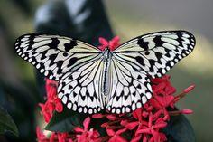 Zebra Butterfly!