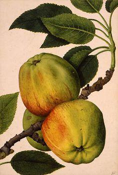 """Apples on a Branch"" -- Circa 1580-85 -- Jacques Le Moyne de Morgues -- The British Museum"