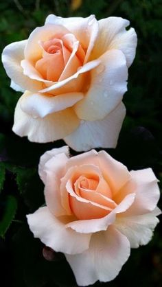 Peach Rose - simple peach rose expresses sociability, friendliness, purity and innocence. genuine warmth and sincere thoughts