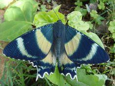 Zodiac moth (Alcides zodiaca) also from Queensland