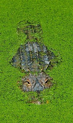 Everglades National Park is home to thousands of alligators and over 100 different reptiles and bird species by navonco Beautiful Creatures, Animals Beautiful, Cute Animals, All Gods Creatures, Sea Creatures, Reptiles And Amphibians, Mammals, Tier Fotos, Mundo Animal