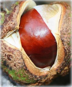 Chestnut -- or maybe a dragon's eye..?