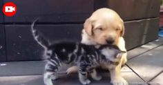 Not many moments are as precious as this one, as this tiny kitten and golden retriever puppy meet, snuggle and get to know each other, which is so sweet to see.