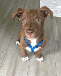 Tobias the mutt puppy picture. Check out those puppy eyes! Mutt Puppies, Cute Baby Puppies, Cute Puppy Breeds, Rescue Puppies, Cutest Puppy, Super Cute Puppies, Baby Animals Super Cute, Cute Animals, Cute Dog Mixes