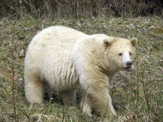 Kermode Bear | ... Mandi McDougal of a rare Kermode Bear also known as the Spirit Bear