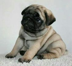 Cute Pug Puppy (rolly polly) LOL All the little pugs I have pinned are awfully cute and just get cuter the more I look at them! Cute Pug Puppies, Dogs And Puppies, Bulldog Puppies, Terrier Puppies, Boston Terrier, Pet Dogs, Dog Cat, Doggies, Online Dog Training