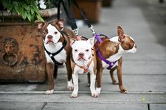 Beautiful Seal Boston's. Its actually a genetic defect and should NOT be bred, beautiful though. #BostonTerrier