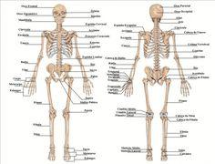 Esqueleto Humano                                                       …