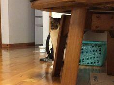見つめるネコ